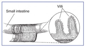 The villi inside the small intestine.